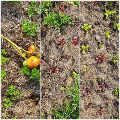 Salat dient als Lückenfüller zwischen Tomaten, die nach und nach geräumt werden.
