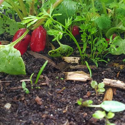 Mischkultur Radieschen und Karotten