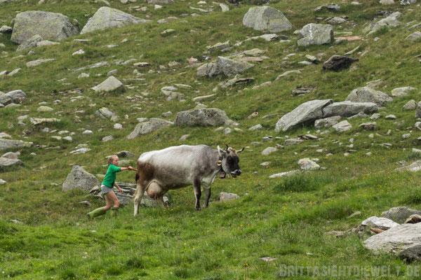 Die Kühe werden Melken in den Stall getrieben.