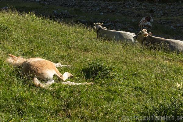 Schlafendes Haflingerfohlen unter Kälbchen.
