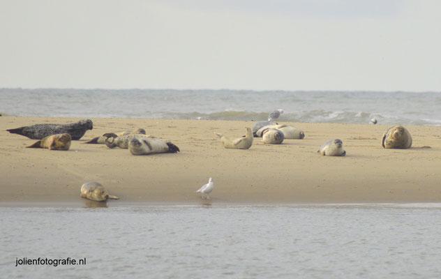 13.Zeehonden bij Petten