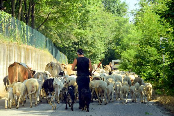 104.Verplaatsen van kudde  over de bergweg