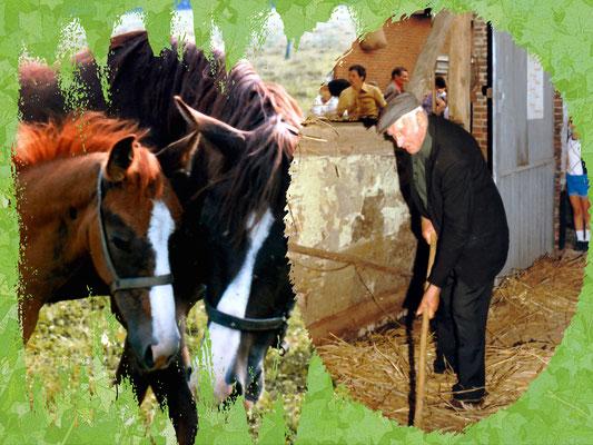 Fons Gielen op een opendeurdag van de boerderijen in de streek. Fons was zijn hele leven boerenknecht.
