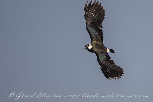 Vanneau pendant stage photos d'oiseaux en baie de Somme