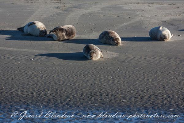 Phoque veau marin de la baie d'Authie