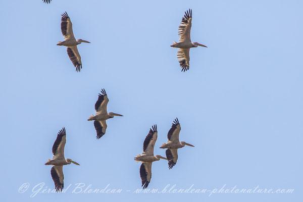 Pélicans blancs du Danube