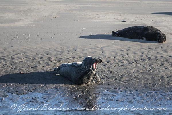 Phoque gris de la baie d'Authie