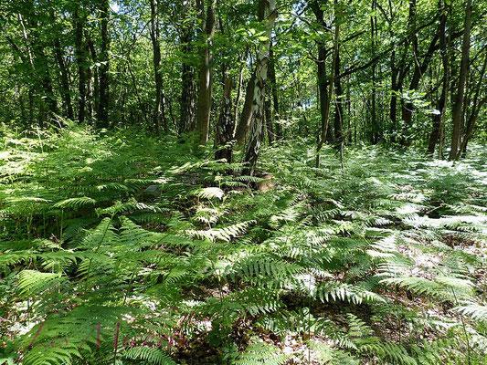 Sous bois forêt acidiphile à fougères aigles