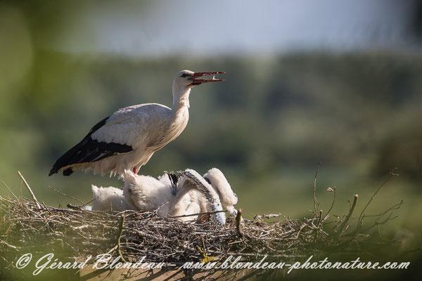 Cigogne blanche en baie de Somme