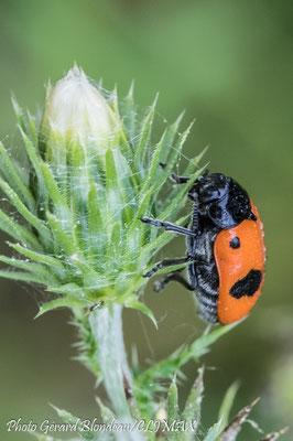 La clytre lustrée dont la larve parasite les fourmis