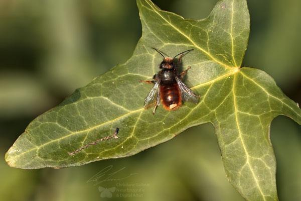 Gehörnte Mauerbiene Osmia cornuta