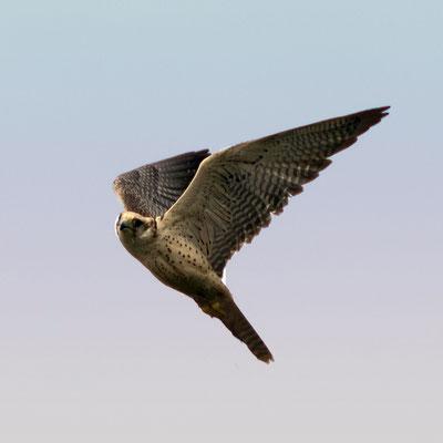 Ger - Falke
