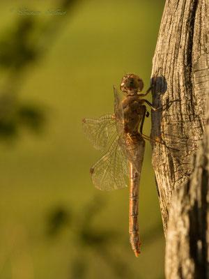 Heidelibelle weiblich, sie fliegt bis in den November