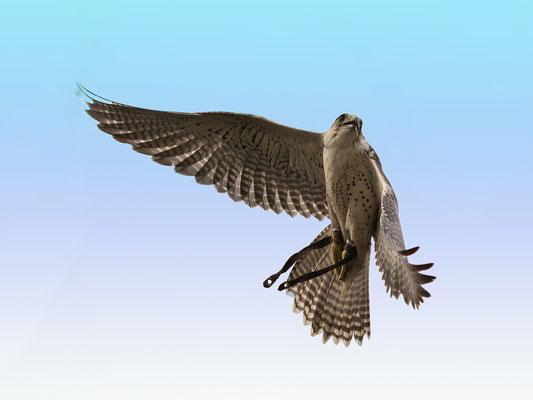 Ger-Falke bei einer Flugshow fotografiert