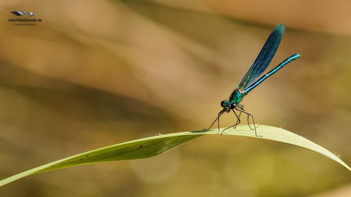 Die Gebänderte Prachtlibelle (Calopteryx splendens)