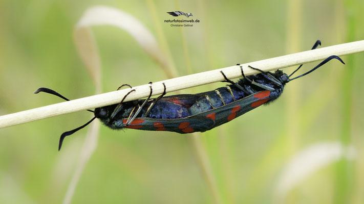 Sechsfleckwidderchen Kopula