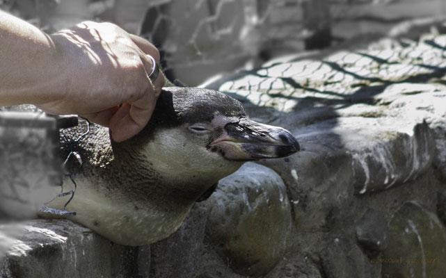Humboldtpinguin genießt