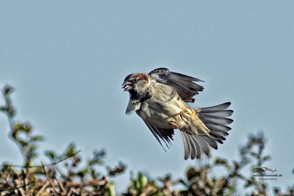 Haussperling schnappt sich einen Fliege
