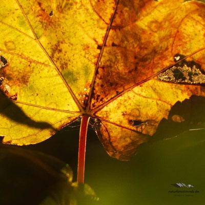 Kastanienblatt mit Herbstfärbung