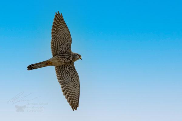 Falken (Falco)