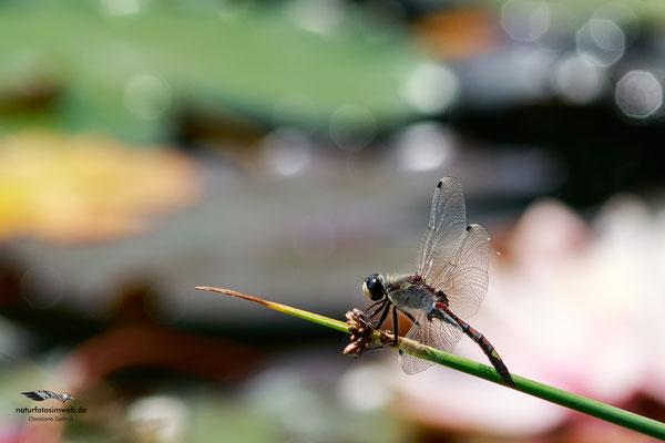 Moosjungfer (Leucorrhinia pectoralis)