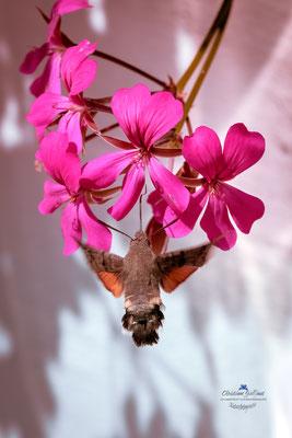Das Taubenschwänzchen (Macroglossum stellatarum)
