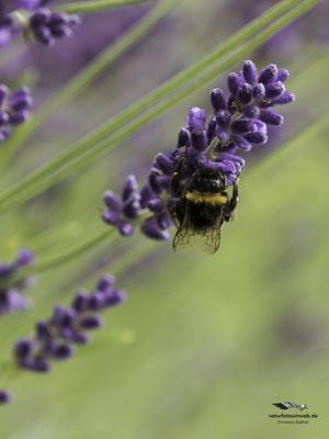Erdhummel an Lavendel
