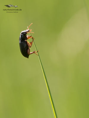 Gattung Hatpalus