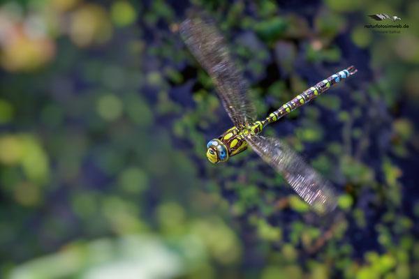 Blaugrüne Mosaikjungfer – Aeshna cyanea