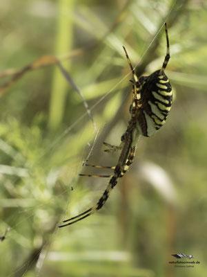 Wespenspinne