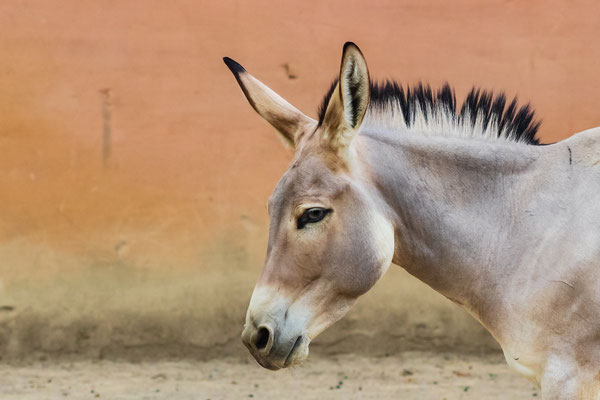 Somali Wildesel im Portrait