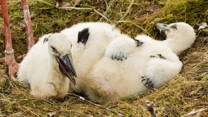 Storchenkinder beim Ausruhen