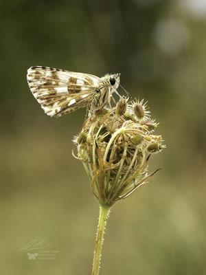 Pyrgus armoricanus , Mehrbrütiger Würfel-Dickkopffalter