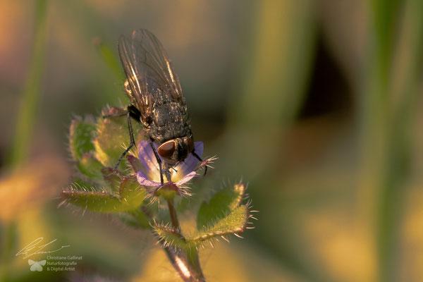 Schmeißfliege (Calliphoridae)