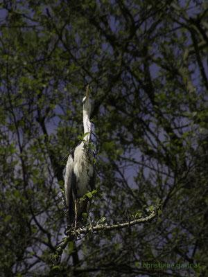 Graureiher versteckt sich im Baum