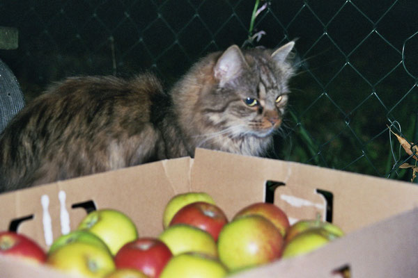 Apfelernte mit Kater