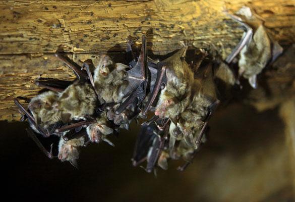 Großes Mausohr Myotis myotis; Foto: Masur Stefan_LBV Bildarchiv