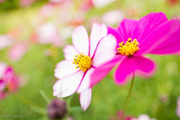 「秋桜」より