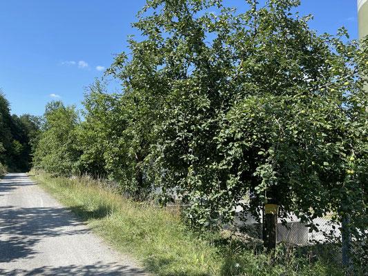 Standort: Kläranlage Eingang / Apfelbaum