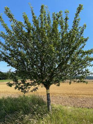 Standort: Weg nach Trimberg (Seitenweg) / Apfelbaum