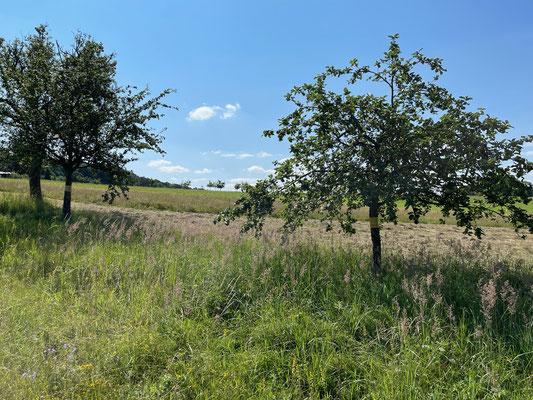Standort: Straße zum Jägerhäuschen / Apfelbäume