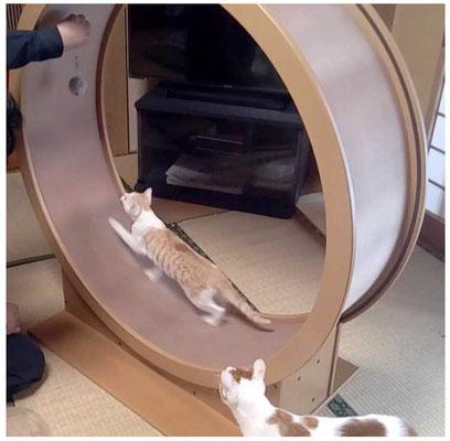 猫 運動 回転 ねこクル ねこくる