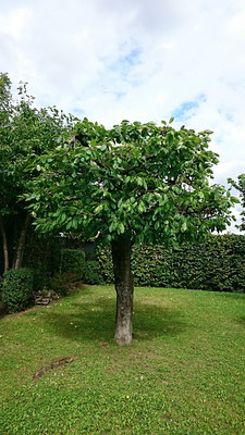 Obstbaum- und Kronenschnitte