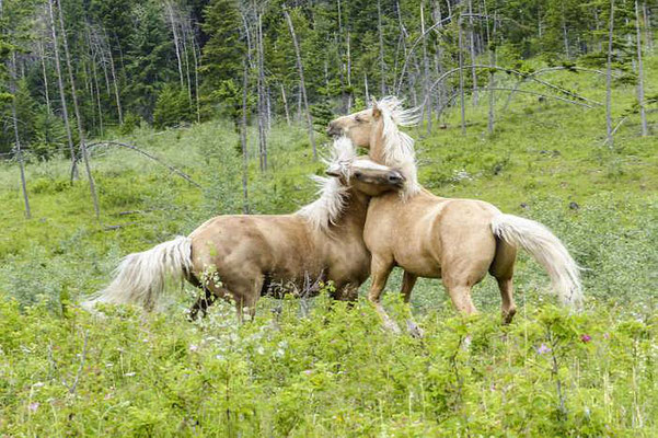 barhuf-nordost | Wildpferde in Nordamerika