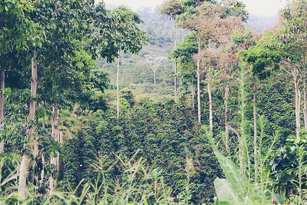 Organische Kaffeeproduktion in Kolumbien