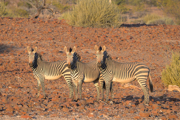 Trio di zebre