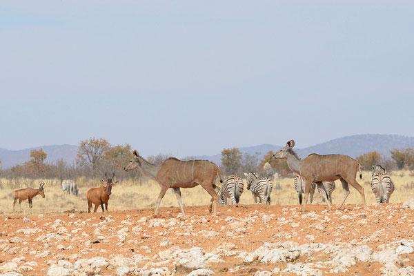 Kudu, zebre e antilopi