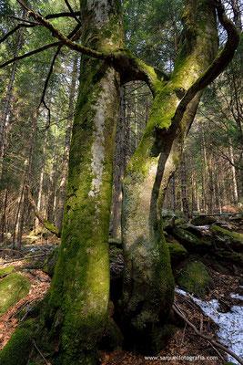 Abbraccio tra alberi
