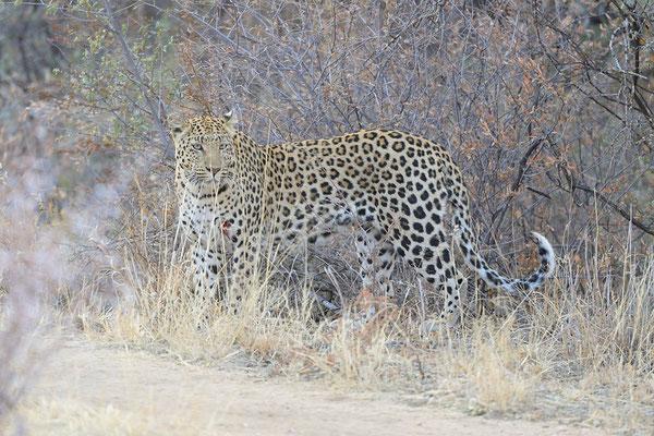 Leopardo (con ferita)