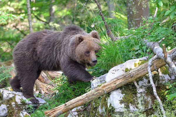 Un altro orso